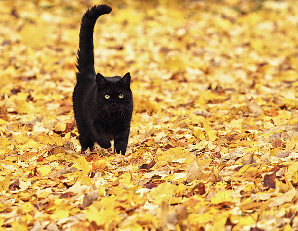 Black halloween cat running on autumn leaves picture id519008255?b=1&k=6&m=519008255&s=612x612&w=0&h=kq3jqjzpvz95p2e3sxsfzzzh32yvzac2pb mmw4 uni=