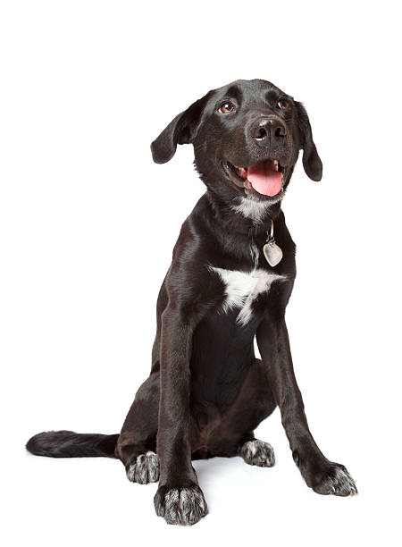 Black happy puppy Happy sitting black labrador-whippet puppy isolated on white. Taken with a wide-angle lens. collar stock pictures, royalty-free photos & images