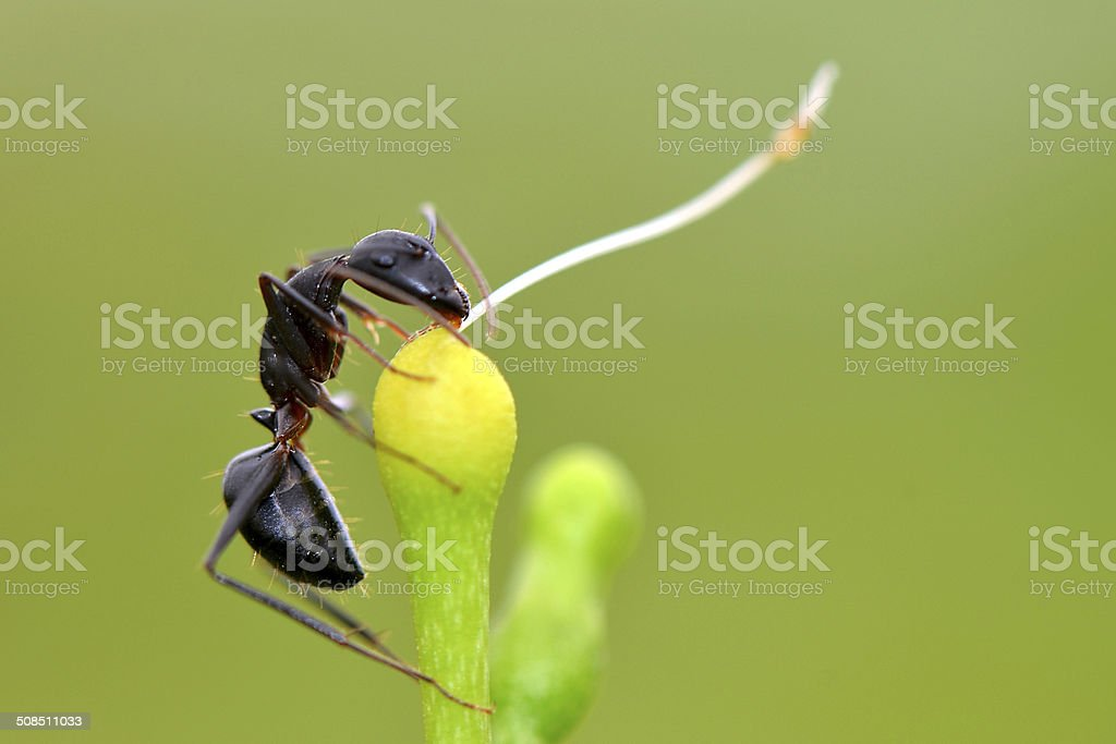 Black Harvester Ant stock photo