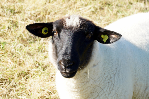 black head of a white sheep