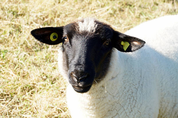 black head of a white sheep German special white sheep with black head: German Gray Heath lüneburg stock pictures, royalty-free photos & images