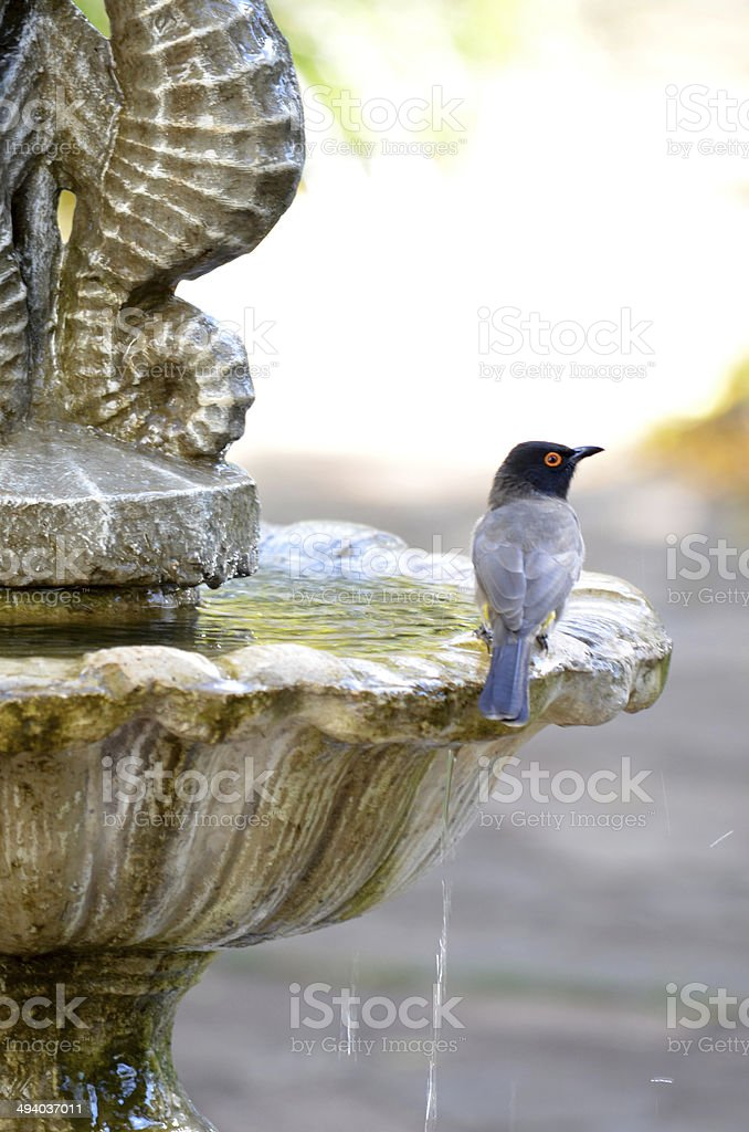 Black headed grey bird on water feature stock photo