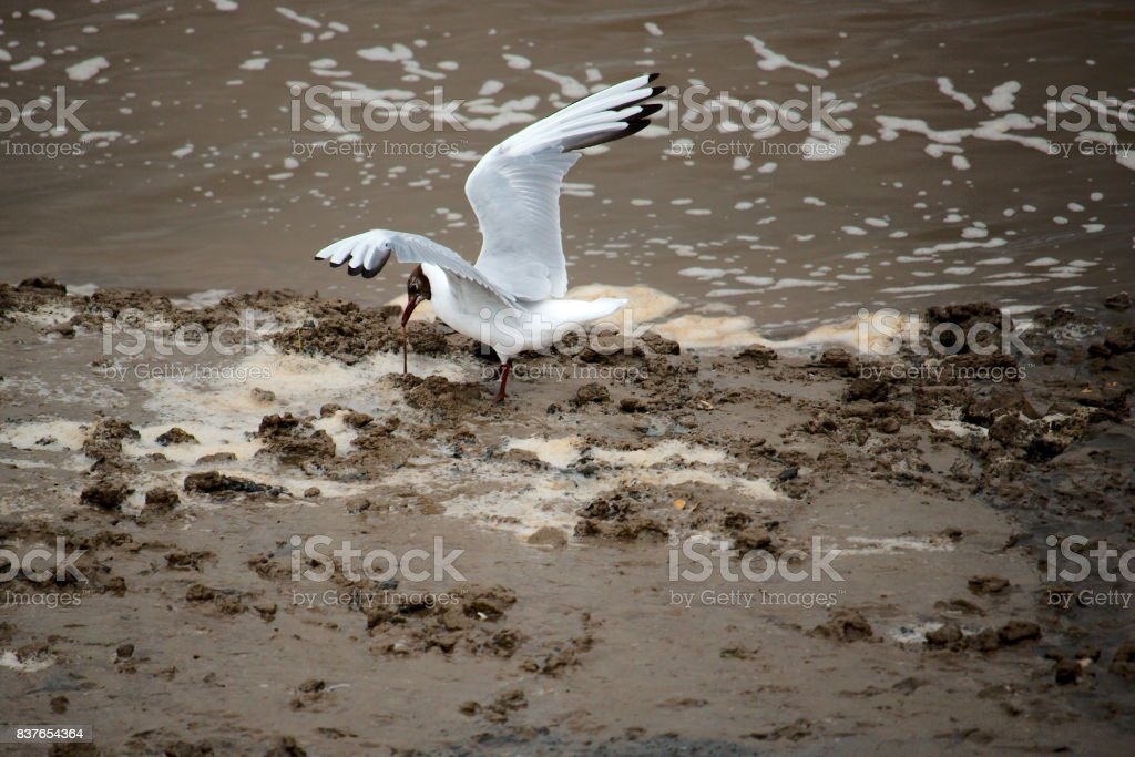 Black headed gull catching a sand worm. stock photo