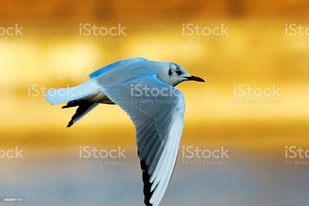 black headed gull in flight in winter plumage stock photo