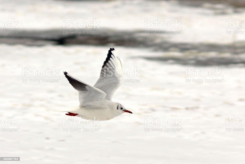 black headed gull in flight over frozen lake stock photo