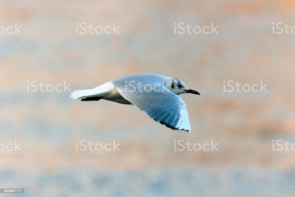 black headed gull in flight over water stock photo