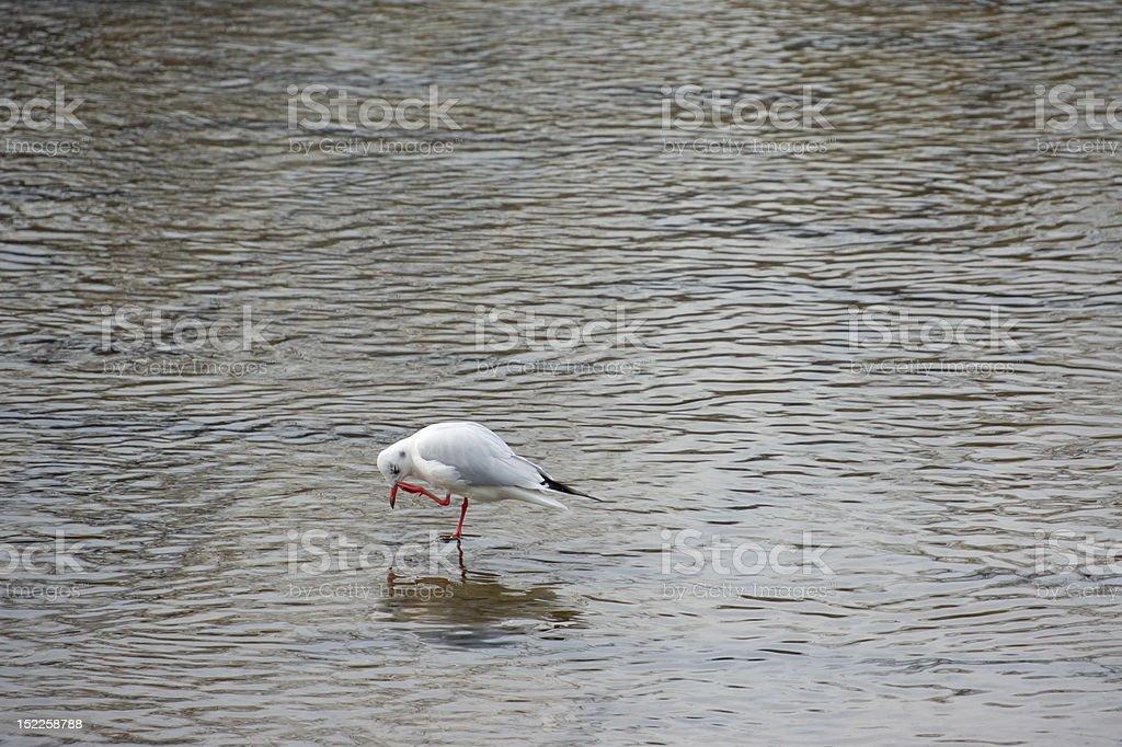 Black Headed Gull(Larus Ridibundus) in japanese river, Kyoto royalty-free stock photo