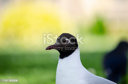 A little black headed gull walking on the grass in the garden in a nice, sunny day.