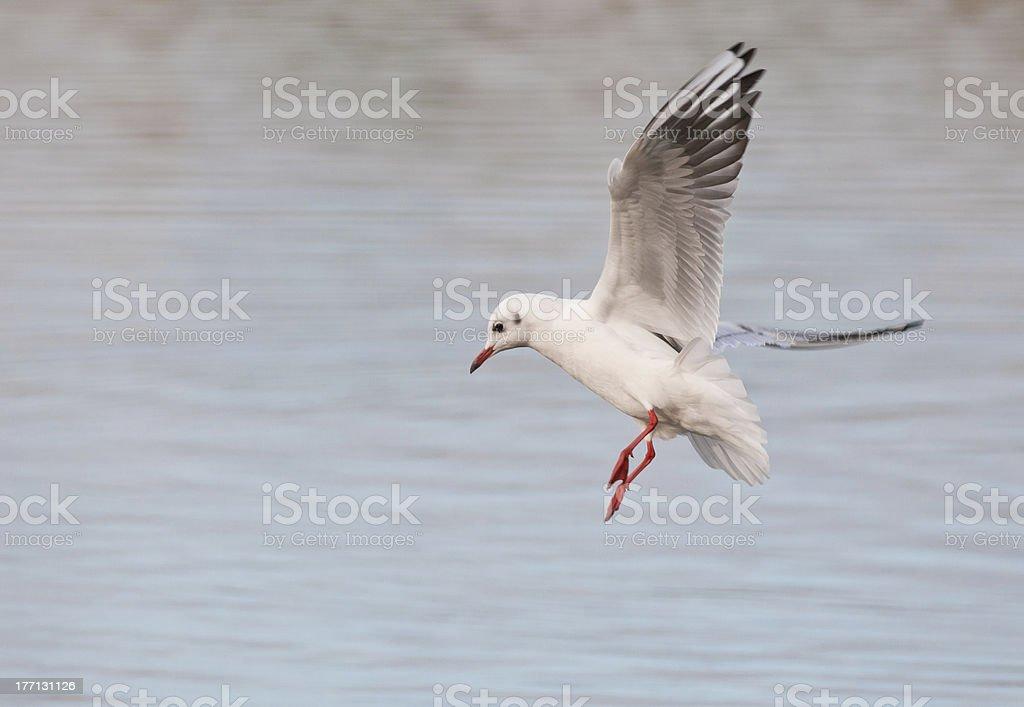 Black Headed Gull royalty-free stock photo