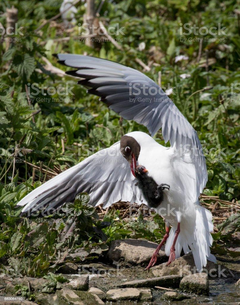 black headed gull foto de stock royalty-free
