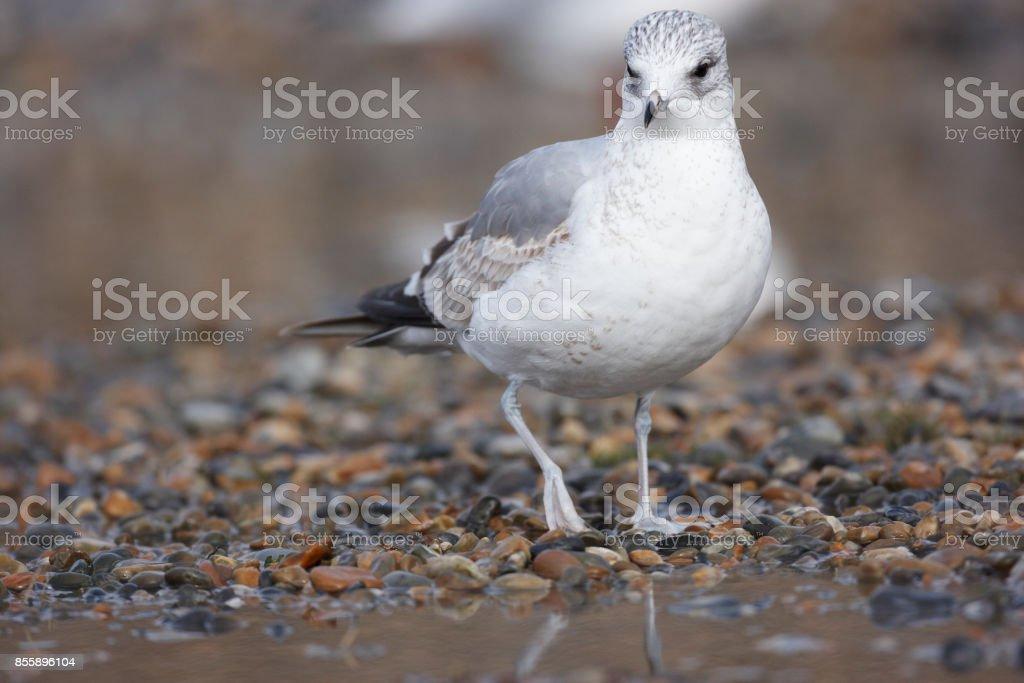 Black headed Gull stock photo