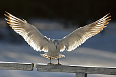 Black headed gull landing on a fence and spreading wings against the sunlight.