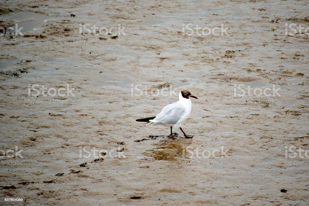 Black headed gull walking on a mud flat. stock photo