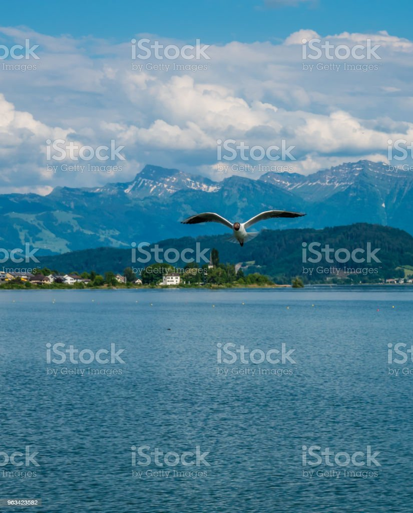Black headed gulls breeding in great numbers in the spring on the shores of the Upper Zurich Lake (Obersee) along the Holzsteg near Rapperswil, Sank Gallen, Switzerland - Zbiór zdjęć royalty-free (Alpy)