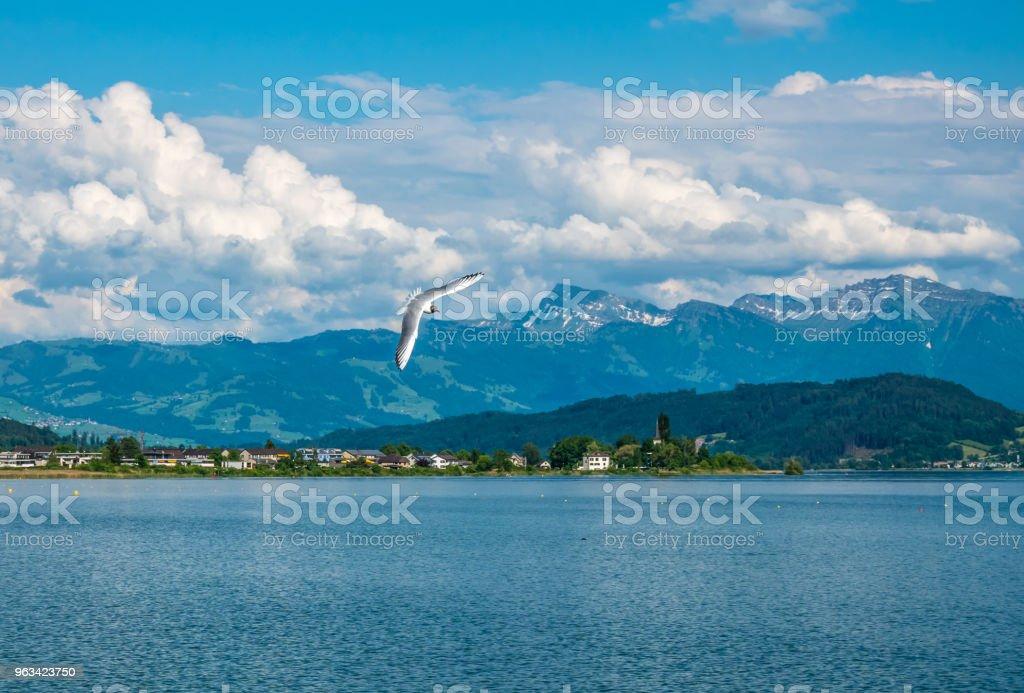 Tête noire goélands nichant en grand nombre au printemps sur les rives du lac supérieur Zurich (Obersee) le long de la Holzsteg près de Rapperswil, Saint Gallen, Suisse - Photo de Aile d'animal libre de droits