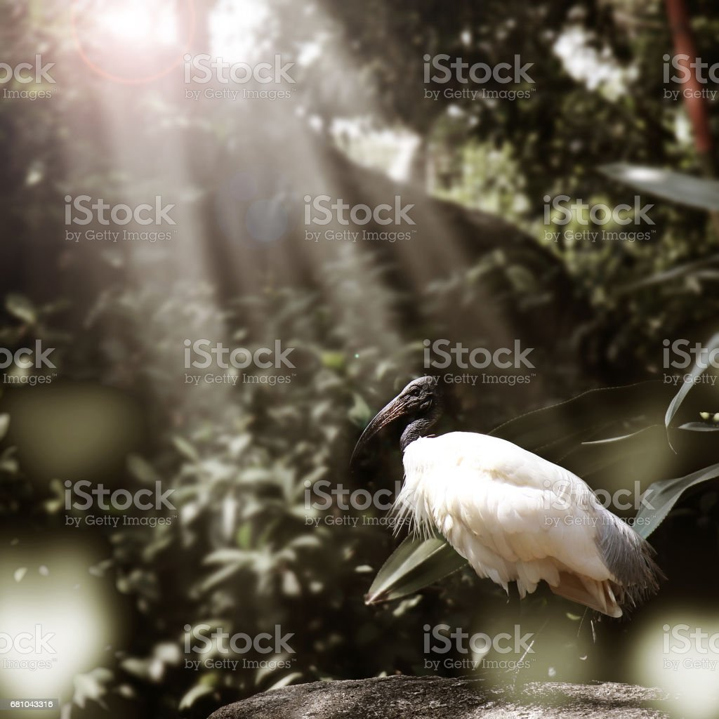 Black headed ibis bird find food on the rock with sunlight royalty-free stock photo