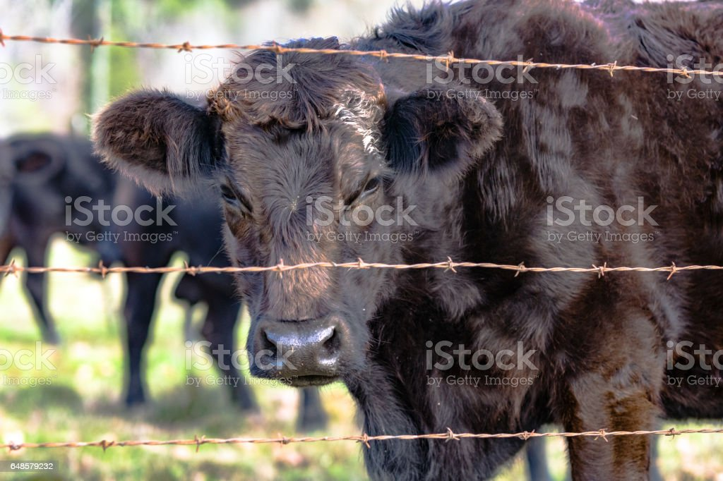 Black heifer looking through wire fence stock photo