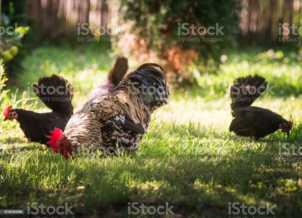 Black hens and rooster in the garden stock photo