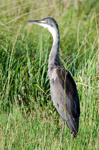 Black Heron In Green Grass Stock Photo - Download Image Now