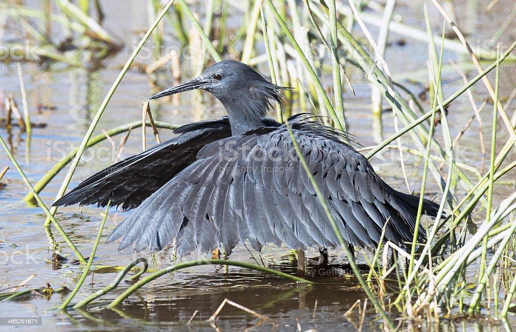 Black Heron royalty-free stock photo