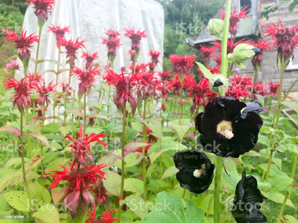 Black Hibiscus Flowers With Large Bright Fluffy Juicy Fresh Petals