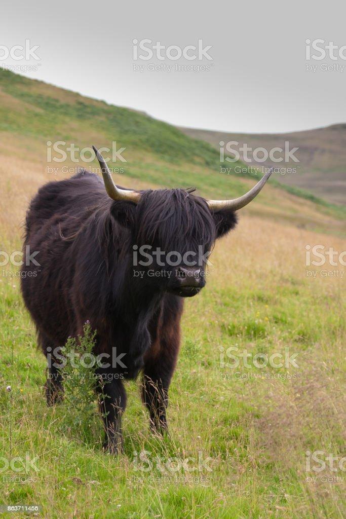 black highland cow on a scottish hill stock photo