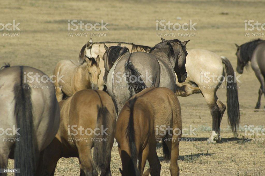 Black Hills Wild Horse Sanctuary Herd Of Duns Stock Photo Download Image Now Istock