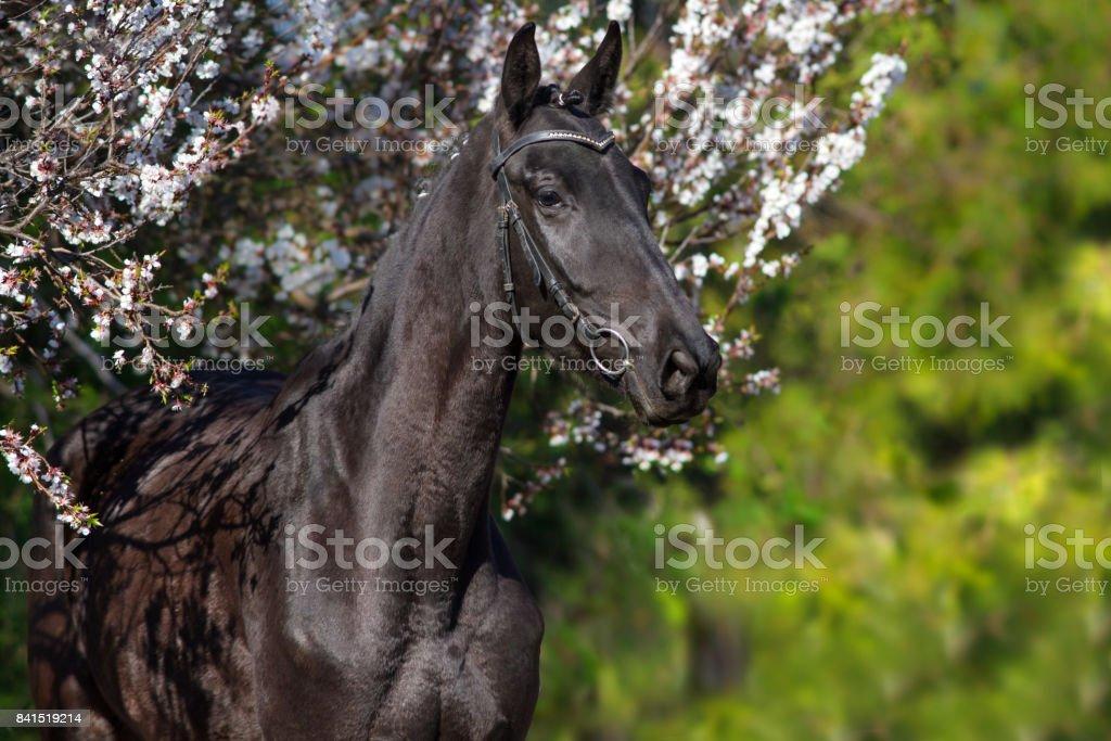 Black horse at sping garden stock photo