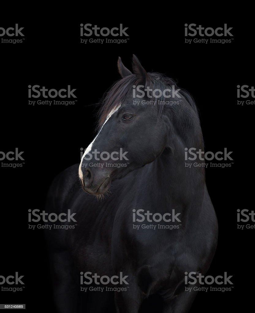 Cheval Noir gros plan sur fond noir, isolé. - Photo