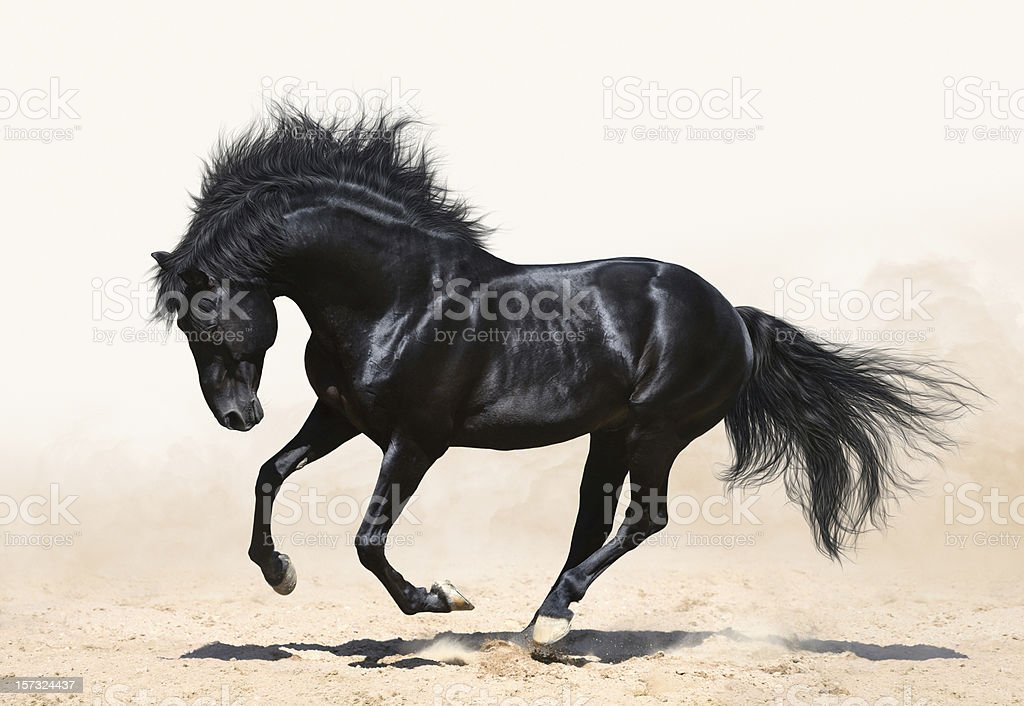 Black horse galloping stock photo
