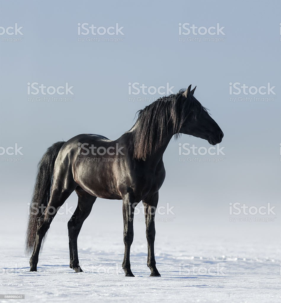 Black horse in the field in the winter. stock photo