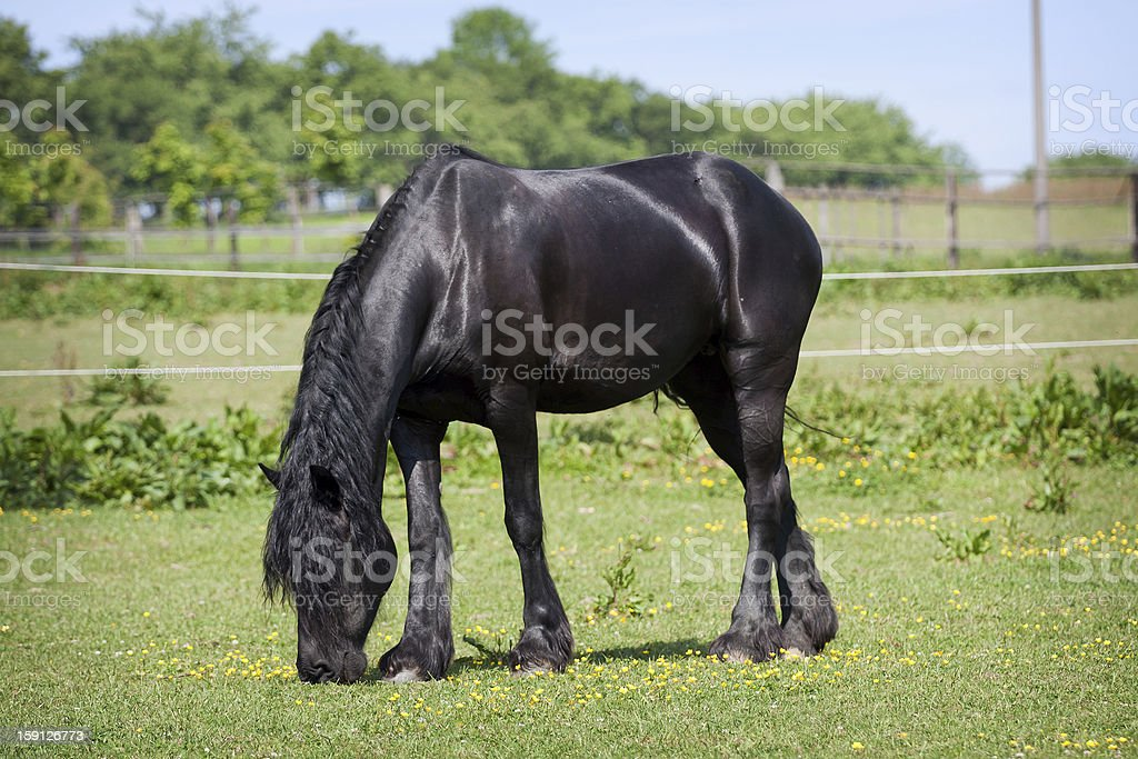 Black horse in the meadow royalty-free stock photo