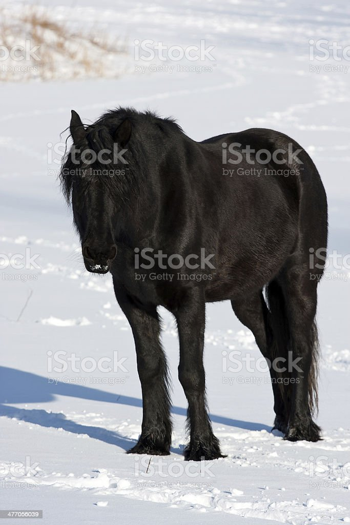 Black Horse In Winter Stock Photo Download Image Now Istock