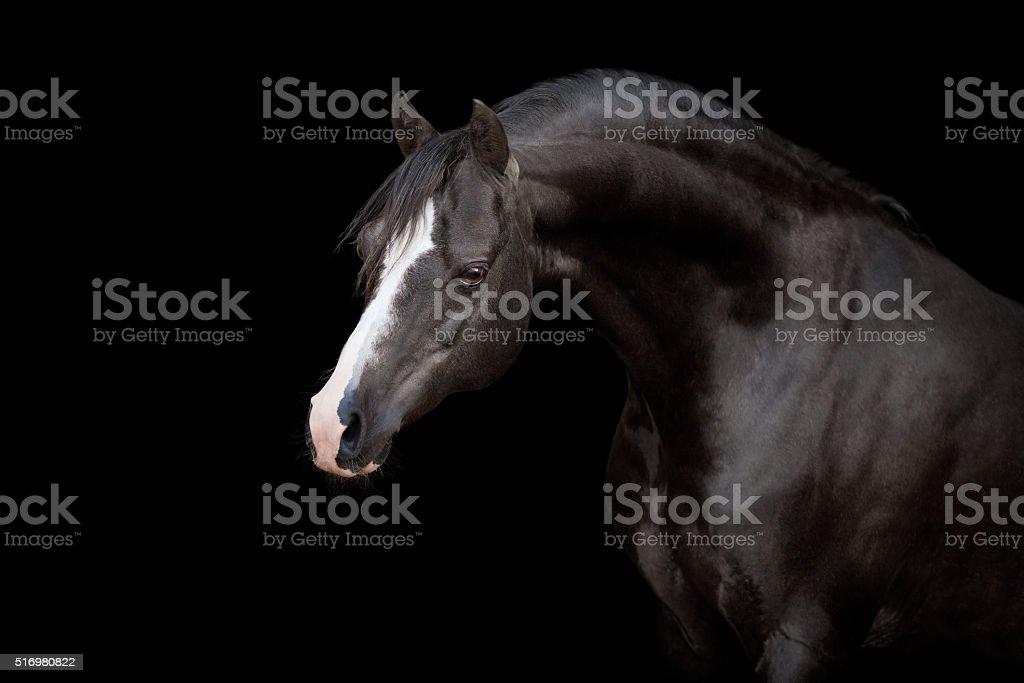 Black horse isolated on black stock photo