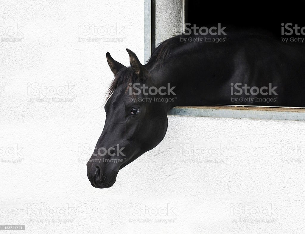 Black horse looks out the window stock photo