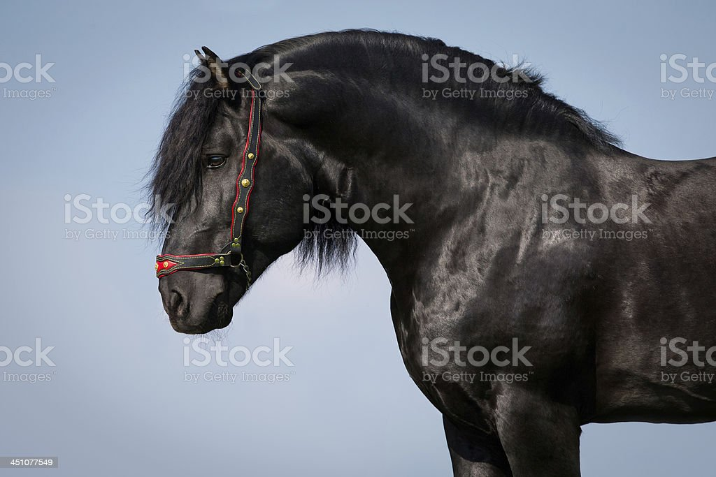 Black horse on blue background, Lithuanian stallion. stock photo