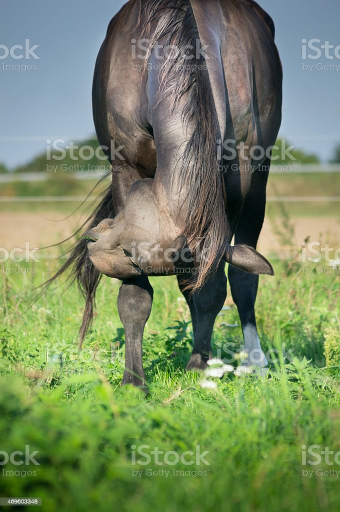 Black horse on green summer pasture stock photo