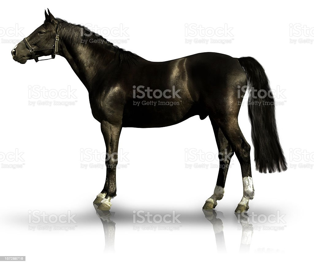 Black Horse On White Background Stock Photo Download Image Now Istock