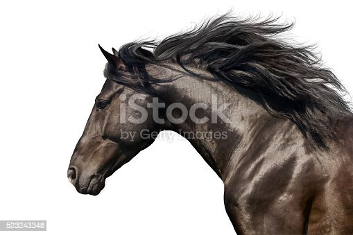 Black stallion in motion portrait isolated on white background