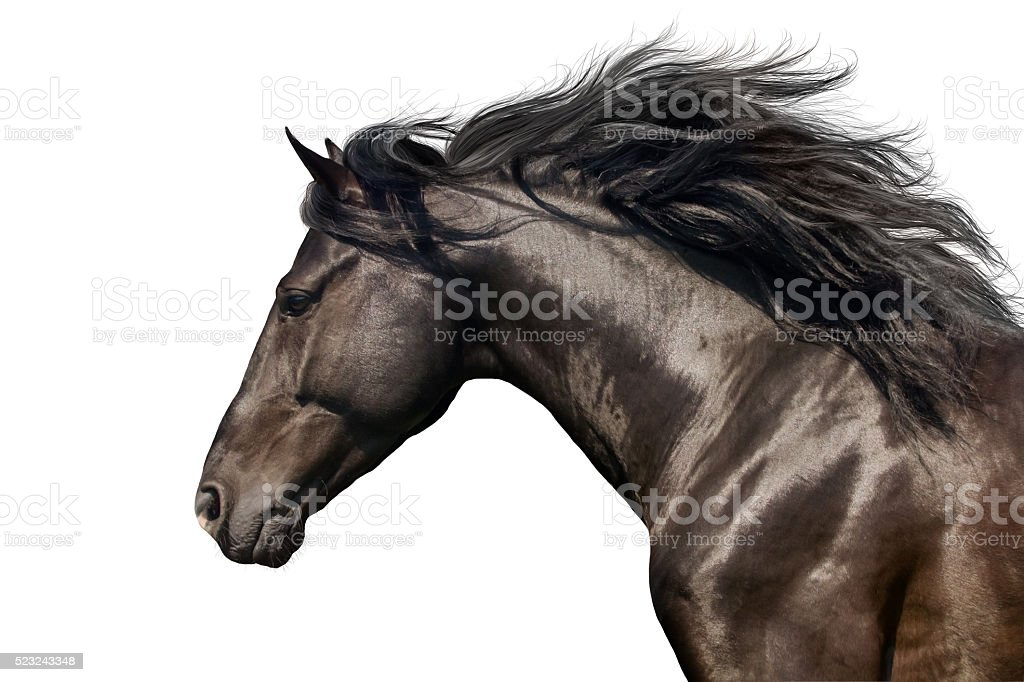 Black horse on white stock photo