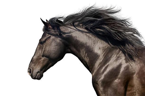 Schwarzes Pferd auf weißem – Foto