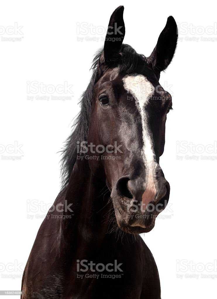 Black horse stock photo