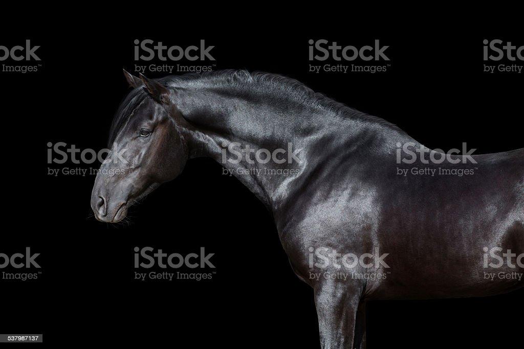 Czarny Koń Portret wyizolowane na czarnym tle. – zdjęcie