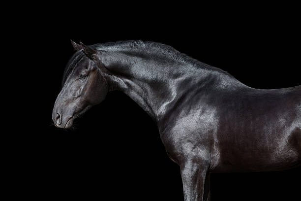 Royalty Free Black Horse Pictures Images And Stock Photos Istock