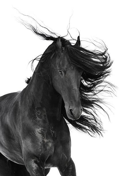 black horse portrait isolated on white background stock photo