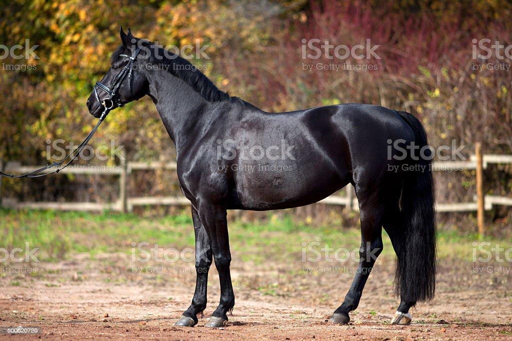 black horse portrait outside stock photo