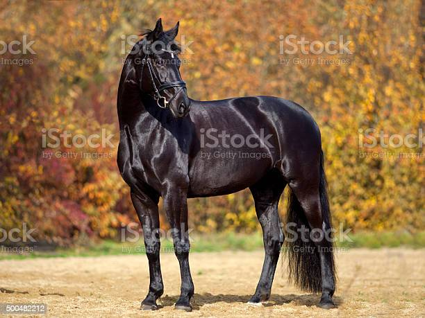 Photo of black horse portrait outside with colorful autumn leaves in background.