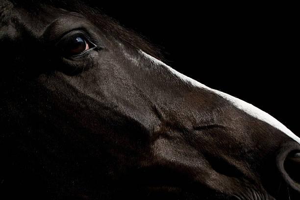 Czarny Koń Portret – zdjęcie