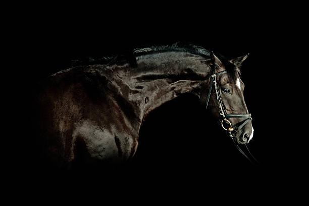 Black Horse Portrait stock photo