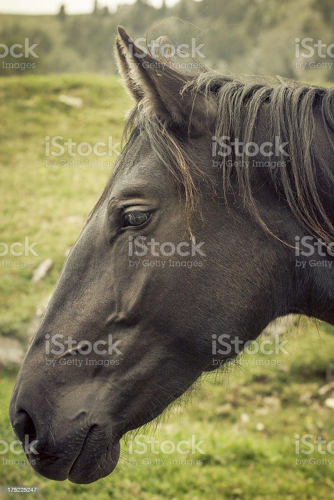 Black horse portrait royalty-free stock photo